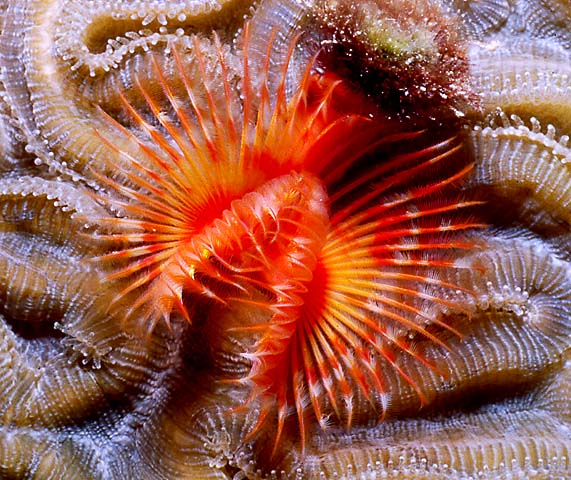 Fan Worm (http://funscubadiver.com/gallery/belize-scuba-photo/red-fan-worm.jpg)
