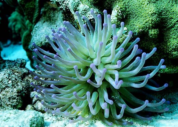 Bonaire GIANT SEA ANEMONE : condylactis gigantea @ Fun ScubaDiver ...