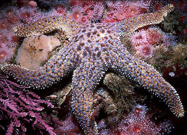 Pictures Of Starfish (Sea Star) - Free Starfish (Sea Star) pictures